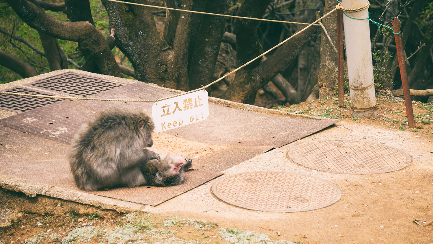 Some areas were off limits to allow the monkeys some peace during breeding season.