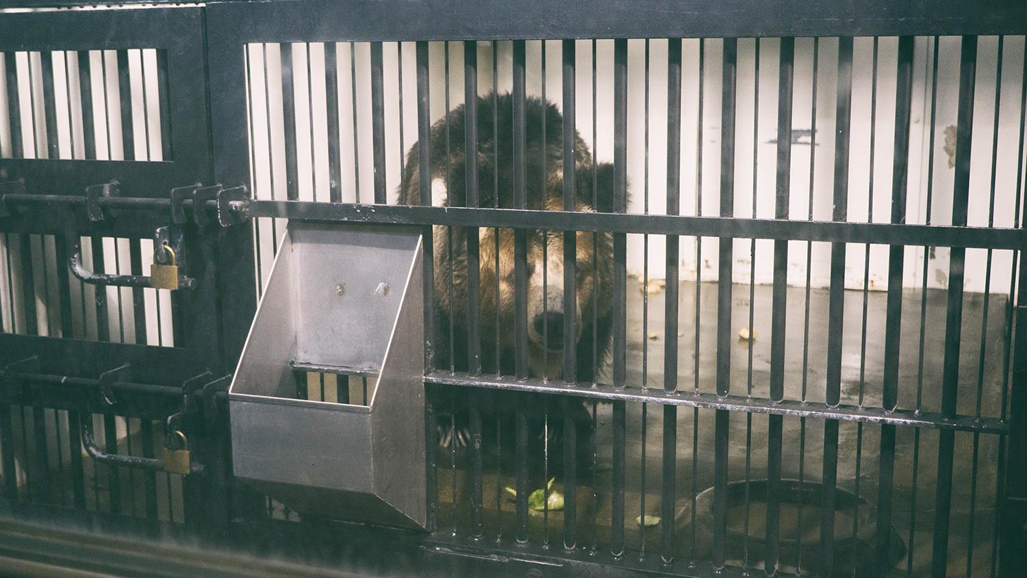 Bear in a cage.