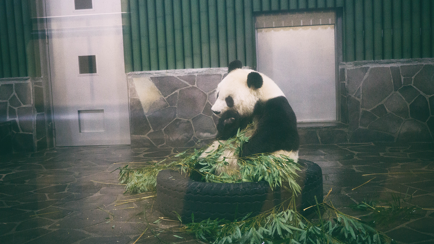 This is Tam Tam, the giant panda.